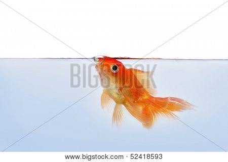 gold fish at the waterline