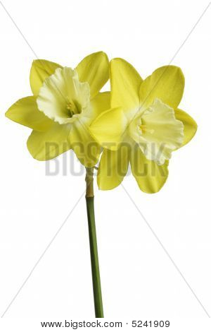 Two Yellow Daffodils Isolated Against A White Background