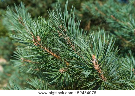 Closeup Of Needles Of A Scots Pine