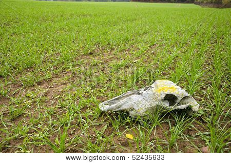 Farm Field Landcsape With Crop And Horse Cranium
