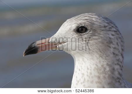 Closeup Of Ring-billed Gull