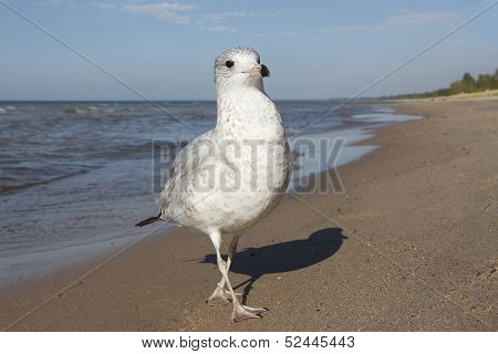 Ring-billed Gull At The Beach