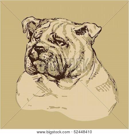 Bulldog Head - Hand Drawn Illustration -sketch In Vintage Style