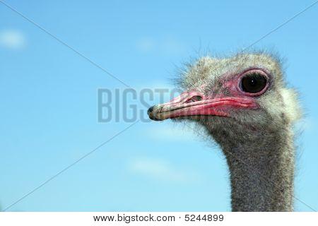 Ostrich. Acquaintance