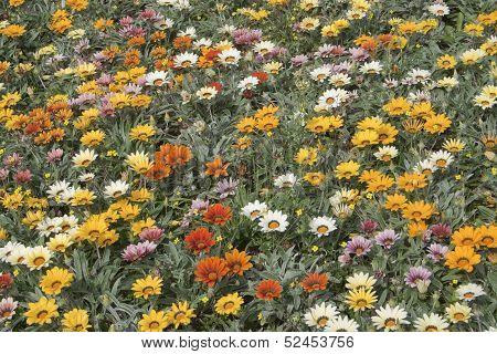 Mixed Gazania (daisies)