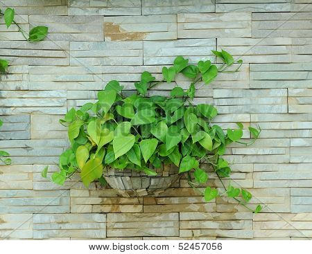 Devil s ivy decorated on wall