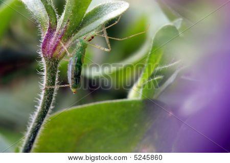 Hiding Grasshopper