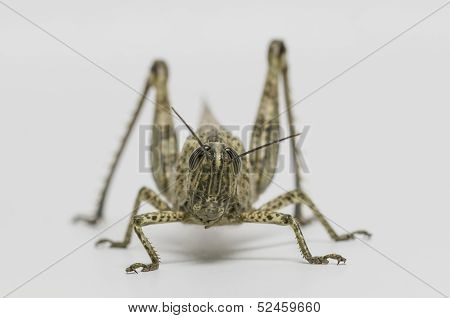 Short-horned Grasshopper