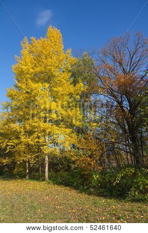 Yellow Foliage Of Aspen In Autumn.