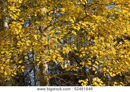 Yellow Foliage Of European Aspen (populus Tremula) In Autumn.