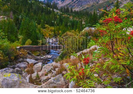 Mountain Ash And Foot Bridge On The Hiking Trail In The Cascade Canyon - Grand Teton National Park