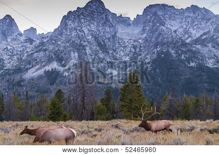 Adult Male Elk And His Herd - Grand Tetons