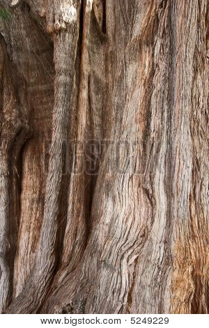 Bark Of Tule Tree