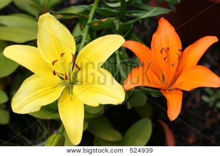 Contrasting Lillies
