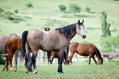 stock photo of bay horse  - Herd of Arabian horses in pasture - JPG