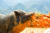 picture of pot bellied pig  - vietnam pig - JPG