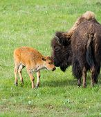 Bison and New Born Calf - Yellowstone National Park