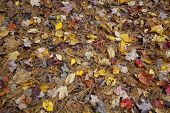 stock photo of fallen  - Fallen Autumn foliage on the forest floor in Western Massachusetts - JPG