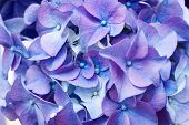image of photosynthesis  - Beautiful violet hydrangea - JPG