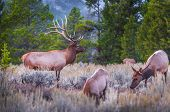 foto of breathtaking  - Elk  - JPG