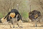 stock photo of angry bird  - A male (left) and female Ostrich guard their nearby chicks against predatory birds, here in full threatening display.  Photographed in the wilds of Africa.