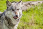 foto of north american gray wolf  - Male North American Gray Wolf - JPG