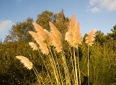 picture of pampas grass  - Pampas grass  - JPG