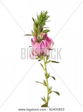 Pink flower isolated on white. ONONIS ARVENSIS L.