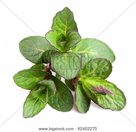 Beautiful Fresh Sprig Of Mint
