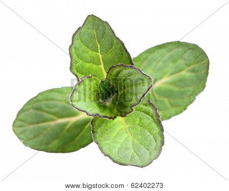Fresh Mint Isolated. Top View