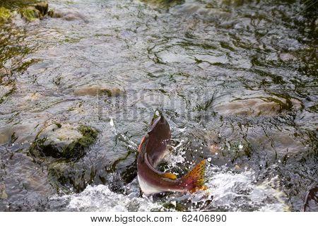 Humpback Salmon