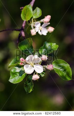 Branches With Apple Flowers Bloom
