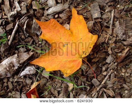 Maple leaf on woodchips
