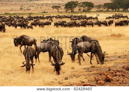 Grazing Wildebeests