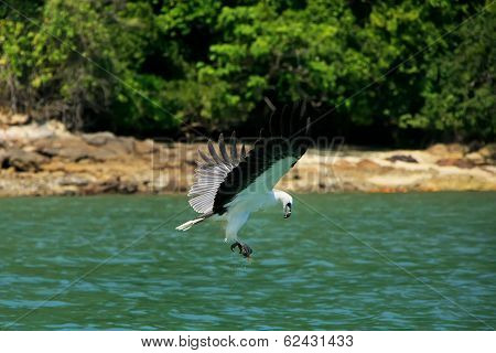 White-bellied Sea Eagle Hunting, Langkawi Island, Malaysia