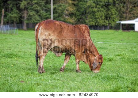 Brahman Cow Grazing On Grass