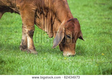 Brahman Cow Grazing On Grass Closeup