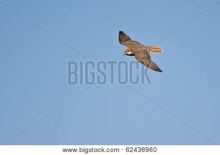 Peregrine Falcon Hunting On The Wing