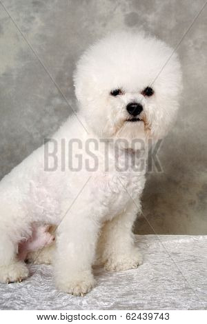 Poodle dog is sitting and resting