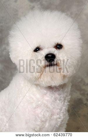 Face of a sad Poodle dog