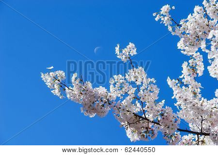 Cherry tree blossoms and moon