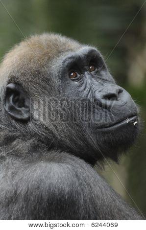 Gorilla - Gorilla Gorilla Gorilla