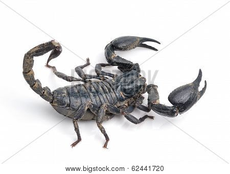 Scorpion Pandinus Imperator Isolated On White Background