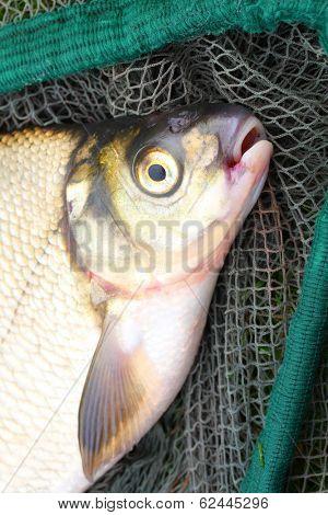 The Common Bream (Abramis brama) on a fishing net.