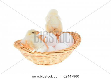 cute little baby chicken on white eggs inside wicked basket isolated over white background