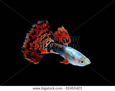 Guppy  Fish Swimming Isolated On Black