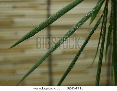 Bamboo Leaves With Water Drops