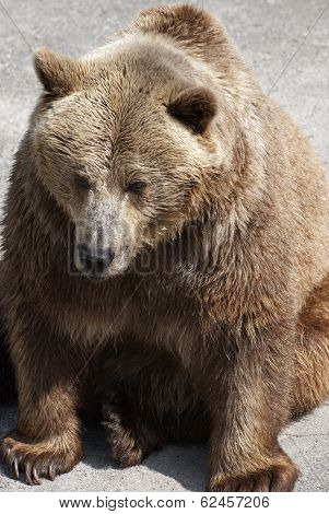 Adult Brown Bear