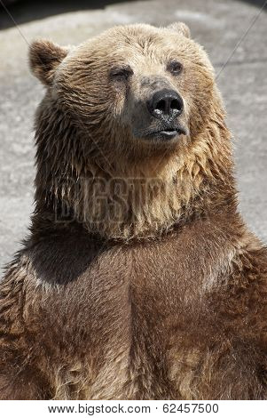 Standing Brown Bear