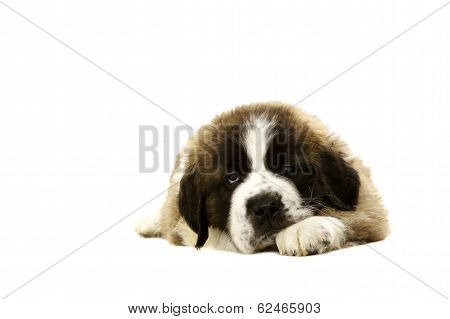 St Bernard Puppy Laid Isolated On White